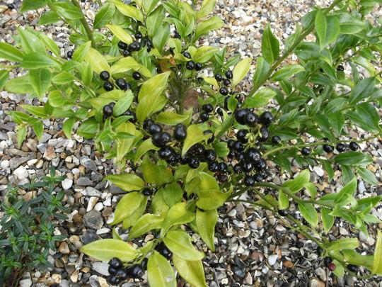 Sarcocca Hookeriana