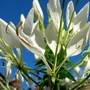Cleome  (Cleome hassleriana (Spider flower))