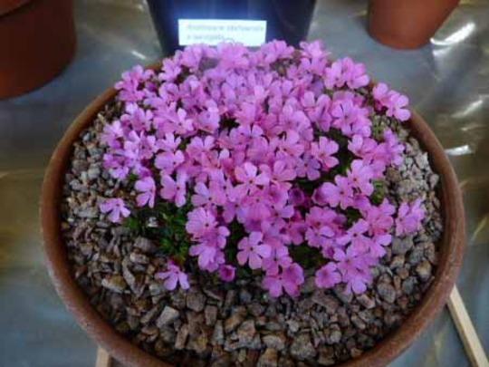 Androsace idahoensis x laevigata
