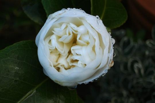 Early camelia (Camellia japonica (Camellia))