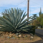 Agave americana - Century Plant (Agave americana - Century Plant)