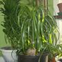 Pony Tail Palm - Beaucarnea Recurvata