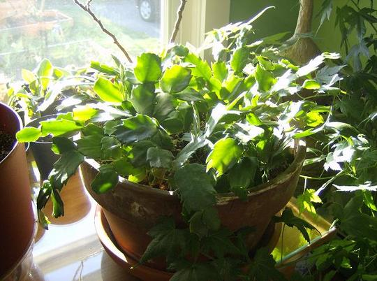 Christmas Cactus - 4 mixed colors