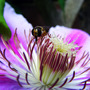 little wasp (clematis)