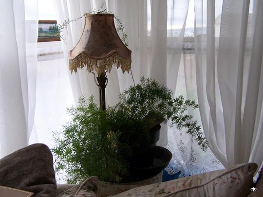 Spaggy Fern..for sid..  :o) (Asparagus densiflorus (Emerald Fern))