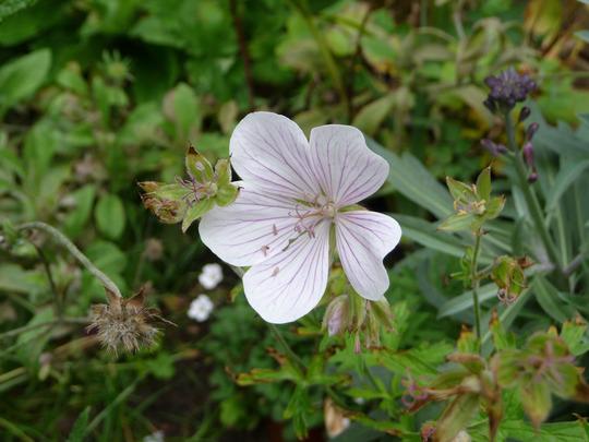 Geranium clarkei 'Kashmir White' (Geranium clarkei (Hardy geranium))