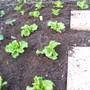 Lettuce 17/04/08