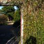 Sunny day in November (Jasminum nudiflorum (Winter jasmine))