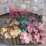 Heuchera baskets