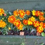 Shed_box_marigolds_july_09