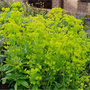 Euphorbia_robbiniae