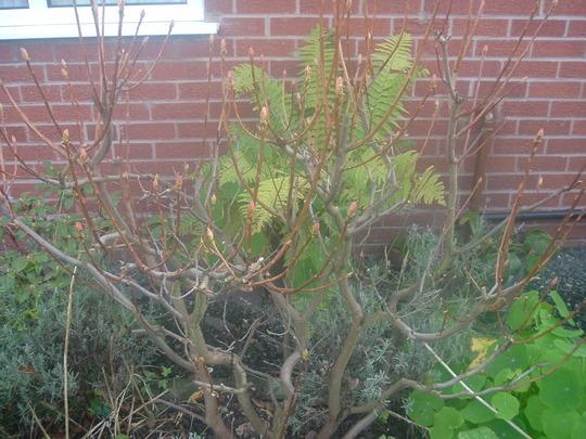 Azalea Mollis (Azalea mollis)