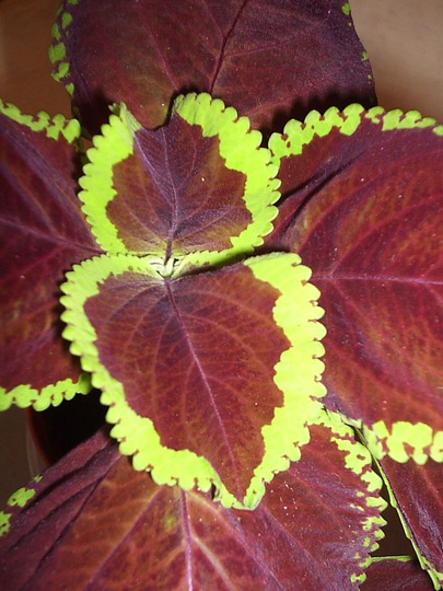 "Coleus ""Chocolate Mint"""