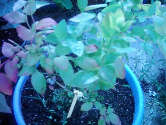Blueberry. (Vaccinium)