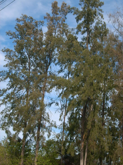 Casuarina equisetifolia or cunninghamiana - Beefwoo or Ironwood (Casuarina equisetifolia or cunninghamiana - Beefwoo or Ironwood)