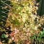 Subtle Autumness...... (Acer palmatum)