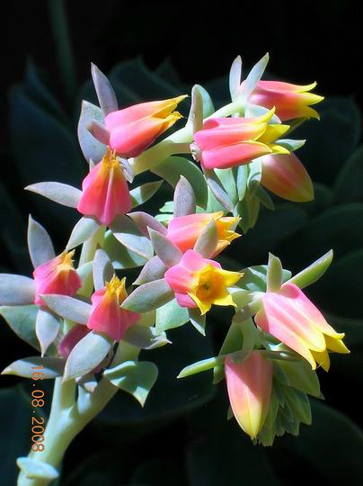 Inflorescence of Echeveria (echeveria)