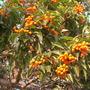 Auranticarpa rhombifolia (Pittosporumn rhombifolia) -  Diamond Leaf Pittosporum (Auranticarpa rhombifolia (Pittosporumn rhombifolia) -  Diamond Leaf Pittosporum)