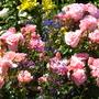 Mum & Dads Roses (Racy Lady)