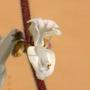 Details 2 (Plectranthus coleoides)