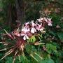 Wild Pellargonium