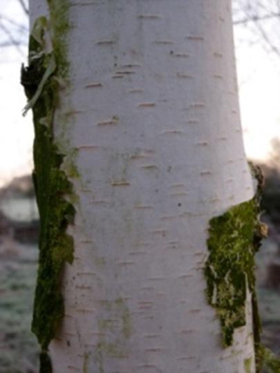 Silver Birch Trunk (Betula pendula (Silver birch))