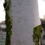 Silver Birch Trunk (Betula pendula (Silver birch))