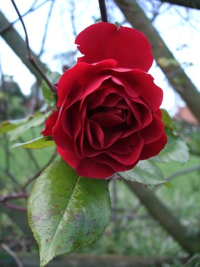 Rosa 'Paul's Scarlet' (Rosa)