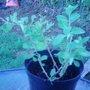 Gogi Berry (Lycium barbarum)