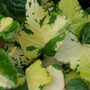 Pretty lemon variegated Ivy....... (Hedera helix (English ivy))