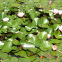 Nymphaeas  (Nymphaea)