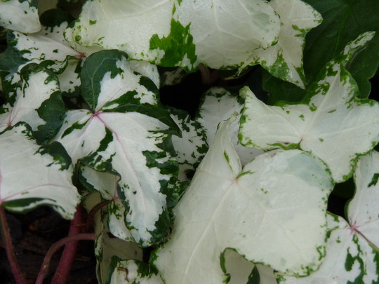Cream and green variegated Ivy (Hedera helix (English ivy))