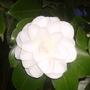 camellia (Camellia japonica (Camellia))