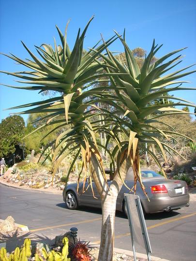 Aloe 'Hercules' (Aloe 'Hercules')
