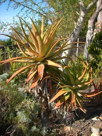 Aloe sessiliflora (Aloe sessiliflora)