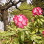 Rhododendron 'President Roosevelt' (rhododendron 'President Roosevelt')