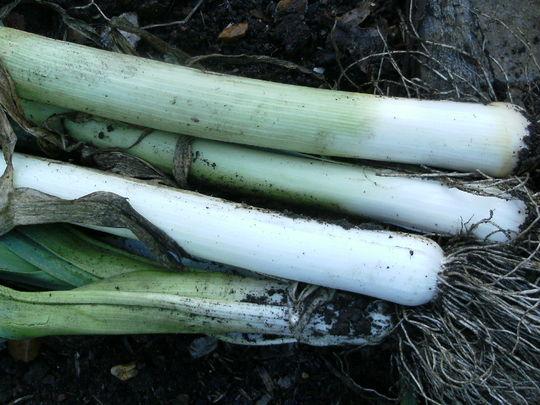 Fresh leeks from the garden