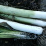Fresh leeks from the garden