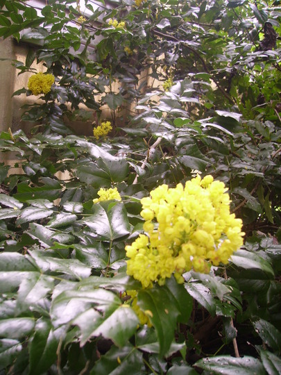 Oregon Grape in bloom (Mahonia aquifolium)