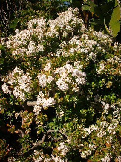 Cassula ovata or argentea - Jade Plant Blooming (Cassula ovata or argentea - Jade Plant Blooming)