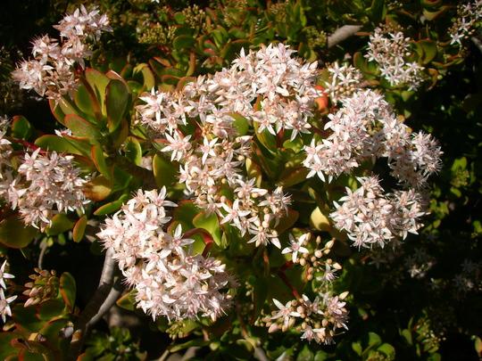 Crassula ovata, argentea - Jade Plant Flowers (Crassula ovata, argentea - Jade Plant Flowers)