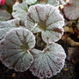 Frosty Geranium leaves