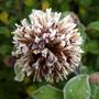 Frosty flower head Ceratostigma Willmotianum