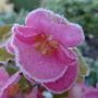 Iced Begonia Semperflorens