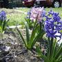 Uninvited but welcomed pink hyacinth