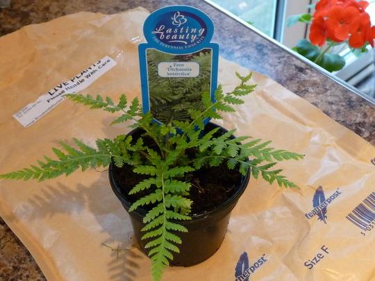 Australian Tree Fern - Dicksonia antartica (Dicksonia antarctica (Soft tree fern))
