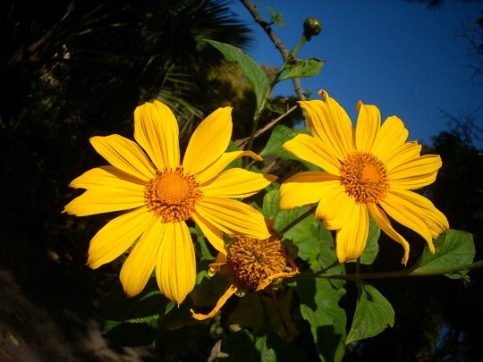Tithonia diversifolia - Mexican Sunflower (Tithonia diversifolia - Mexican Sunflower)
