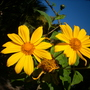 Tithonia diversifolia - Mexican Sunflower (Tithonia diversifolia - Mexican Sunflower)