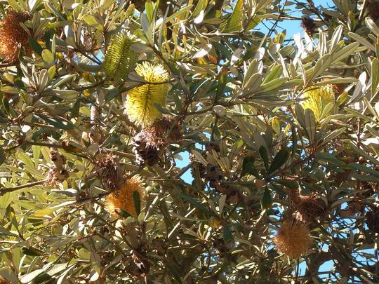 Banksia species (Banksia species)