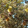 Banksia species (Banksia species)